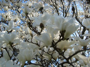 And here is a photo of Magnolia denudata taken by Wave Hill Marketing & Communications Associate Betsy Ginn
